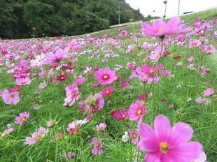 tanokuma-kosumosu18.jpg