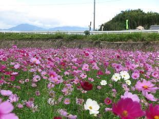 tanokuma-kosumosu20.jpg