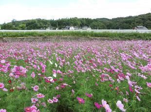 tanokuma-kosumosu5.jpg