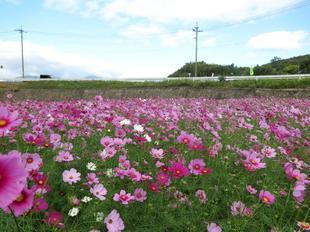 tanokuma-kosumosu9.jpg
