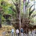 菩提寺の大イチョウの紅葉(奈義町)