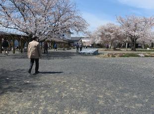 2021-3-27sakura-open36.jpg