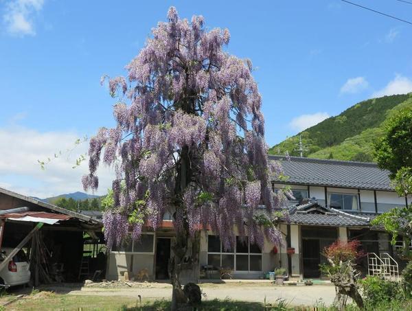 1本木で咲く藤の花(鏡野町藤屋)