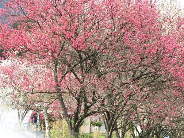 阿波の花桃の並木道