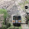 2021年三浦駅満開のさくらのトンネルです。