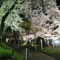 2021白加美神社参道のさくらライトアップ