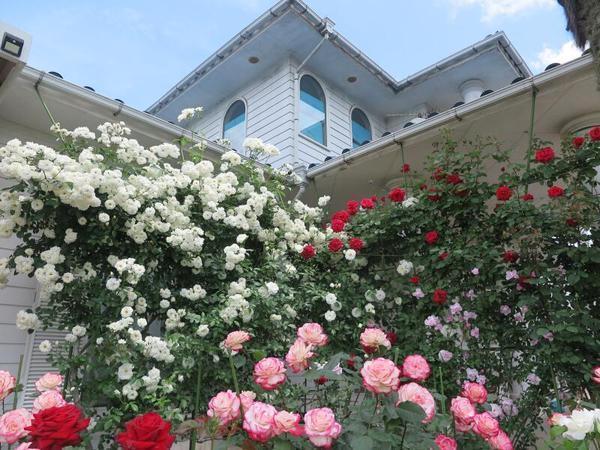 2021末澤 俊一さん宅のバラ(河辺)