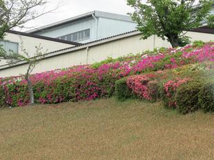 4-25-tsutsuji2.jpg