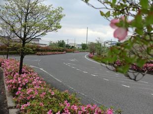 4-25-tsutsuji5.jpg
