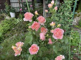 yoshimurabara32.jpg