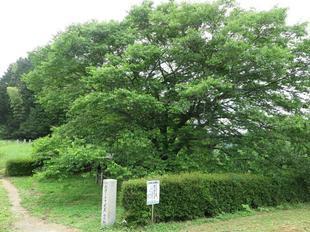 2021-6-15daigozakura12.jpg