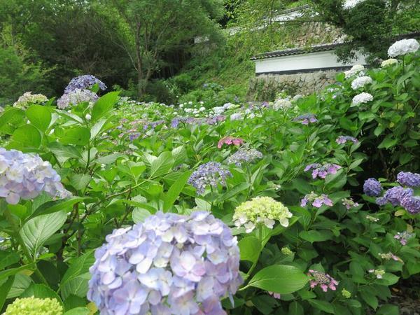 2021長法寺のアジサイの花