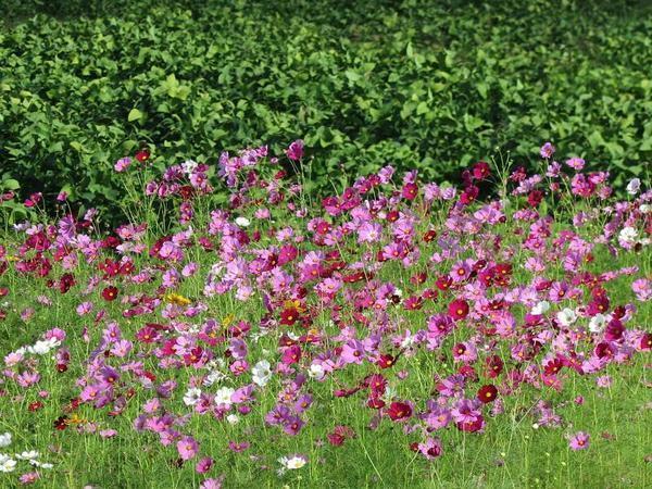 綾部西で咲くコスモスの花