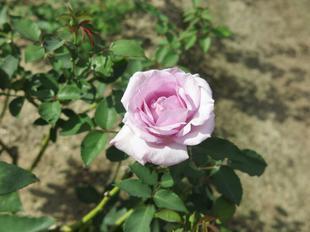 koumotobaraaki43.jpg