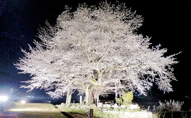 osonosakura.jpg