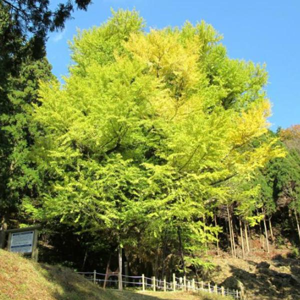 菩提寺のモミジと大イチョウの紅葉
